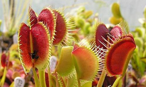 Dionaea muscipula Spider venus fly trap seeds