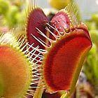 Dionaea muscipula Spider semi