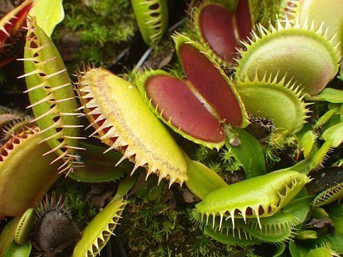 Dionaea muscipula Tiger Fangs Venusfliegenfalle Samen