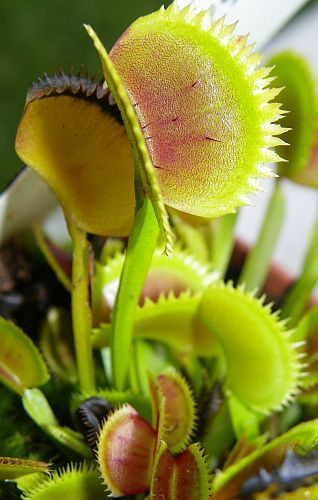 Dionaea muscipula UK sawtooth number1  Семена