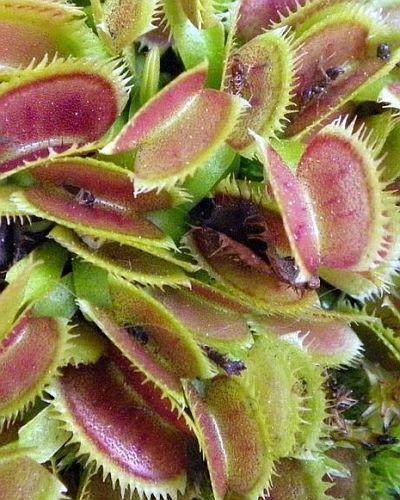 Dionaea muscipula UK sawtooth number2  Семена