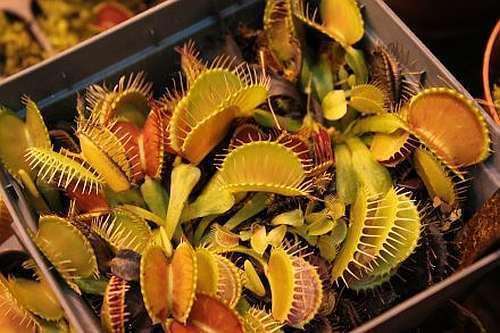 Dionaea muscipula Yellow-Orange  Семена