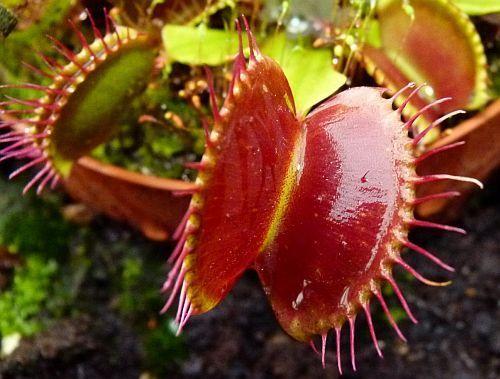 Dionaea muscipula fine teeth red Venusfliegenfalle Samen