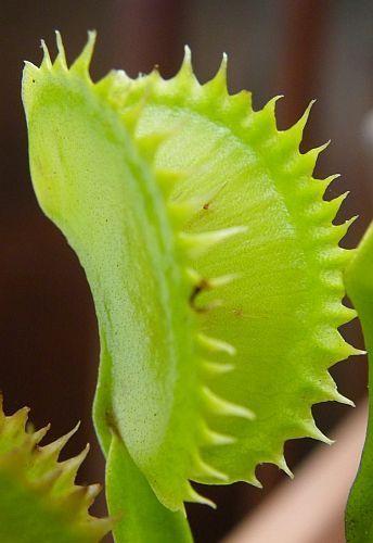 Dionaea muscipula tiger teeth  Семена