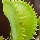 Dionaea muscipula tiger teeth  cемян