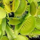 Dionaea muscipula var. heterophylla low Venusfliegenfalle Samen