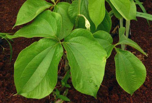 Dioscorea dumetorum  semillas