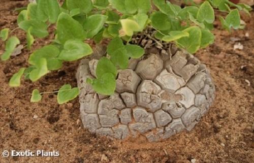 Dioscorea elephantipes patte d éléphant graines