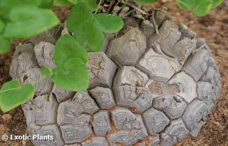Dioscorea elephantipes Schildkrötenpflanze Elefantenfuß Samen