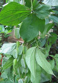 Dioscorea filiformis Caudexpflanze Samen