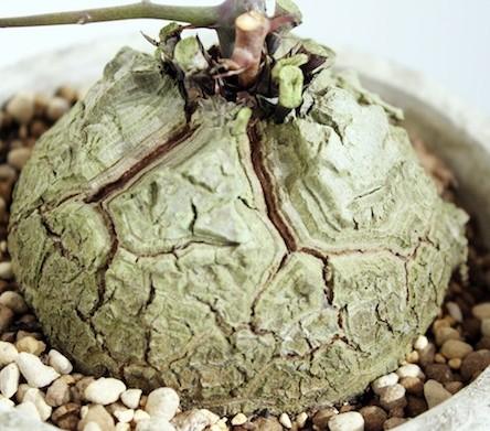 Dioscorea meridensis  semillas