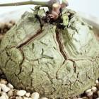 Dioscorea meridensis  cемян