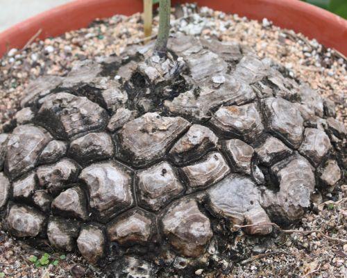 Dioscorea mexicana Testudinaria graines