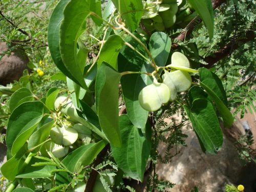 Dioscorea prehensilis Caudexpflanze Samen