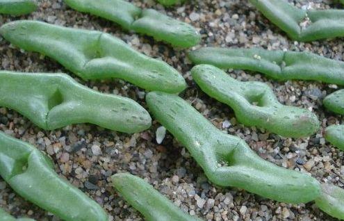 Diplosoma retroversum  semillas