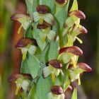 Disa bracteata Orchideen Samen