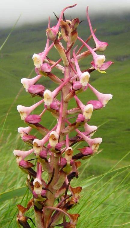 Disa cooperi Orchidee - Orchideen Samen