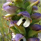 Disa cornuta Orchidee - Orchideen Samen