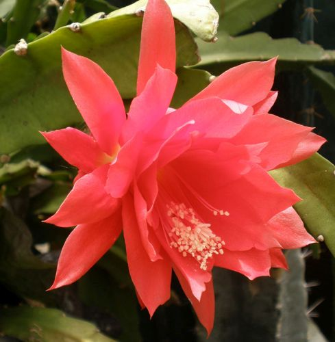 Disocactus ackermannii Cactus Orchidée rouge graines