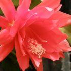 Disocactus ackermannii Roter Orchideenkaktus Samen