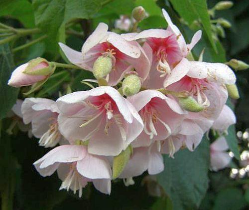 Dombeya burgessiae Afrikanische Hochzeitsblume Samen