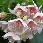 Dombeya burgessiae Домбея розовая cемян