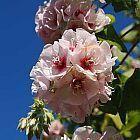Dombeya pulchra Silber-Wildbirne Samen