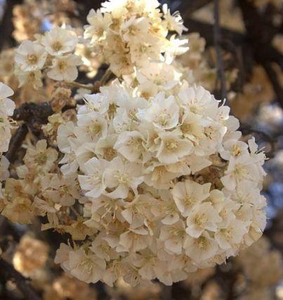 Dombeya rotundifolia Hortensienbaum - Wildbirne Samen