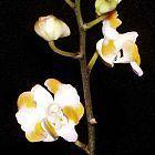 Doritis pulcherrima Orchideen Samen