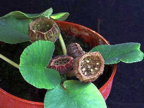 Dorstenia brasiliensis Caudex semillas
