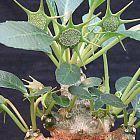 Dorstenia foetida Caudexpflanze Samen