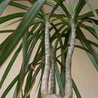 Dracaena marginata Драцена окаймленная cемян
