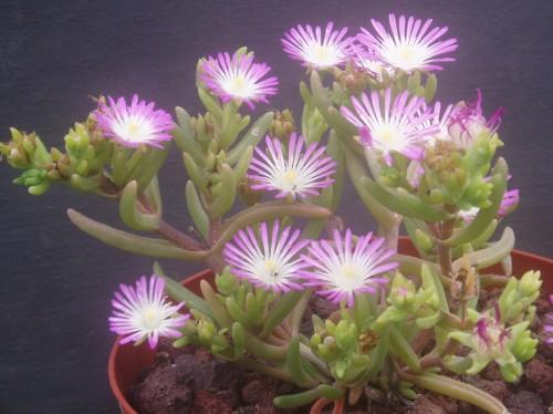 Drosanthemum Crassum Mesembryanthemum Seeds