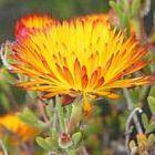 Drosanthemum flammeum  cемян