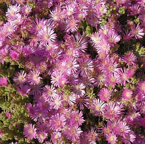 Drosanthemum floribundum planta suculenta semillas