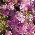 Drosanthemum floribundum succulente graines