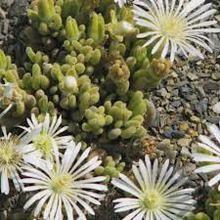 Drosanthemum Marinum Mesembryanthemum Seeds