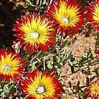 Drosanthemum micans succulente graines