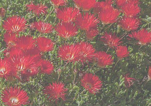 Drosanthemum speciosum Piante succulente semi