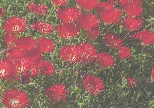 Drosanthemum speciosum planta de hielo rojo semillas