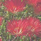 Drosanthemum speciosum  cемян