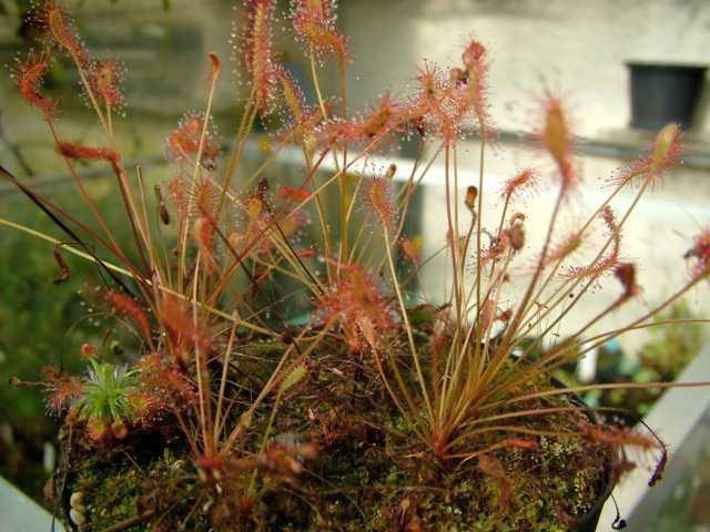 Drosera affinis Sonnentau Samen