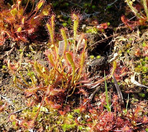 Drosera anglica giant langblättriger Sonnentau Samen