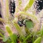 Drosera capensis alba Kap-Sonnentau Samen