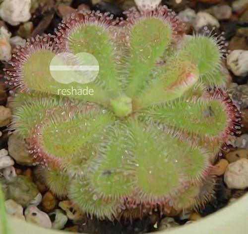 Drosera cuneiflora  Семена