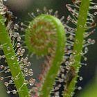 Drosera filiformis  cемян