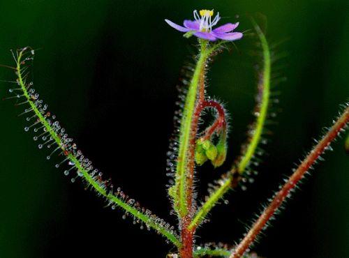 Drosera indica  semillas
