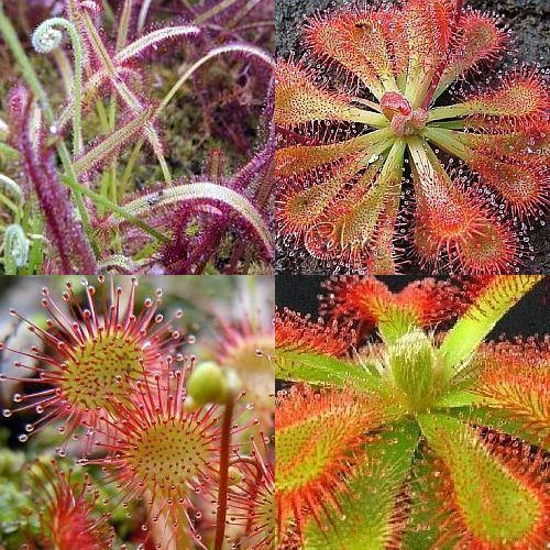 Drosera mix  Семена