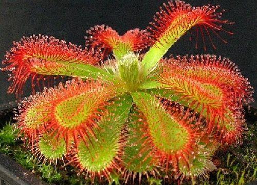 Drosera trinervia Sundew seeds
