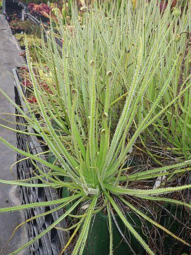 Drosophyllum luisitanicum Portugiesischer Sonnentau  Samen